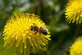 Maskros och honungsbi