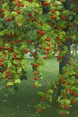 Rönnträd