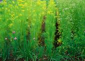 Dill, gräslök och koriander