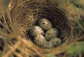 Blåhakeägg i fågelbo