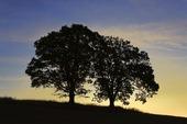 Siluett av två träd i solnedgång