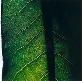 Blad på Rhododenron