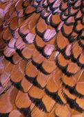 Fjädrar på fasanhöna