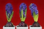 Tre hyacinter
