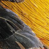 Fjäderdräkt på guldfasan