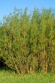 Energiskog Salix