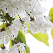 Blommande äppelträd