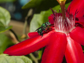 Grönt bi på en Passiflora