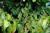 Kaffebuske med frukter