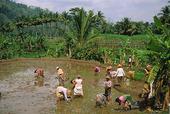 Risfält på Java, Indonesien