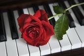Röd ros på piano