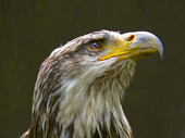White-Headed Marine Eagle (Haliaeetus leucocephalus)
