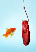 En guldfisk vid kött på metkrok