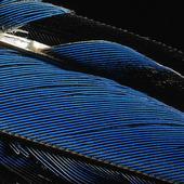 Fjäderdräkt på  kungsfiskare
