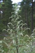 Gråbo, artemisia vulgaris
