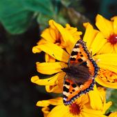 Nässelfjäril på gul blomma