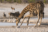 Giraff som dricker ur vattenhål, Namibia