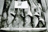 Nyfångad fisk