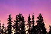Skog i skymning