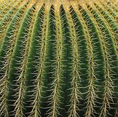 Kaktustaggar