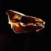 Kranium av vildsvin