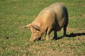 Frigående gris