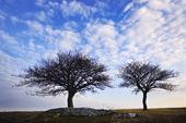 Träd på Gotland