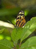 Numata fjäril (Heliconius Numata)