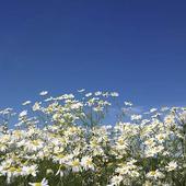 Blomsteräng