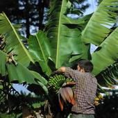 Bananodling på Teneriffa, Spanien