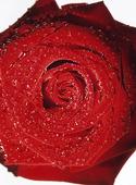 Vattendroppar på röd ros