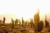 Kaktusar, Argentina