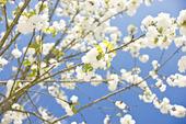 Blommande träd i vår