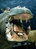 Uppstoppad flodhäst