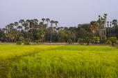 Risfält. Kambodja