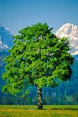 Träd i Alperna