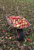 Skottkärra med äpplen