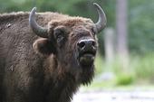 Visent (europeisk bison)