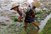 Kvinnor på risfält, Indonesien