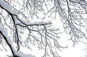 Trädgren med nyfallen snö