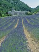 Lavendel i Provence, Frankrike