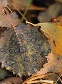 Vattendroppar på höstlöv