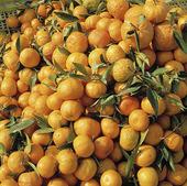 Nyplockade apelsiner, Tunisien