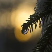 Isdroppe i barrträd