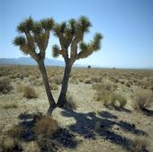 Kaktusträd i Nevadaöknen, USA