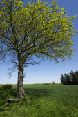Lövträd i jordbrukslandskap