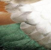 Fjädrar från and