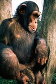 Apa, Schimpans