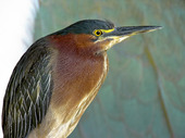 Green-backed Heron (Butorides virescens)