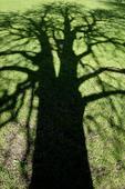 Trädskugga